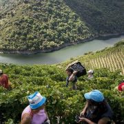recolecta de viñedos cerca de las casas rurales de corveixe